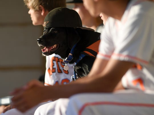Freckles, a service dog for South Gibson's Trey Sherrill, sports Parker Wiser's hat in the dugout during the Hornets' District 13-AA tournament game against Milan at Medina Lions City Park in Medina, Tenn., on Tuesday, May 9, 2017.
