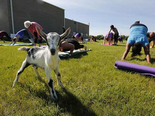 A baby goat walks around yoga participants June 17