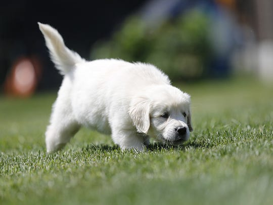 Born blind, Rosie, an English Cream Golden Retriever, uses her nose and ears to get around the lawn Tuesday, at her rural Fond du Lac County home.