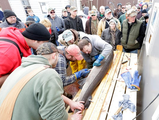 Sturgeon spearers and interested on-lookers gathered