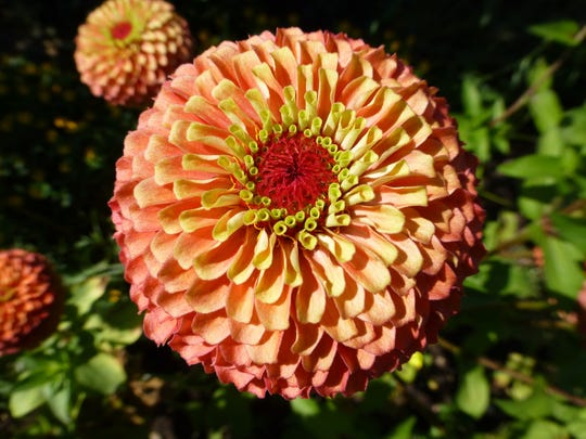 Terrific as a butterfly favorite, Queeny Lime Orange zinnias can also be cut for an indoor bouquet, where the blooms last three weeks.