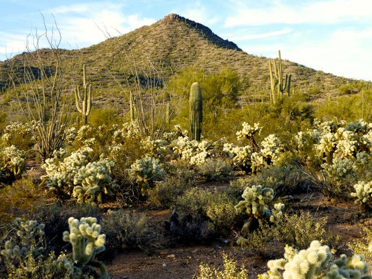 The Sophie's Flat trail in Wickenburg passes through clusters of saguaro and gardens of cholla.