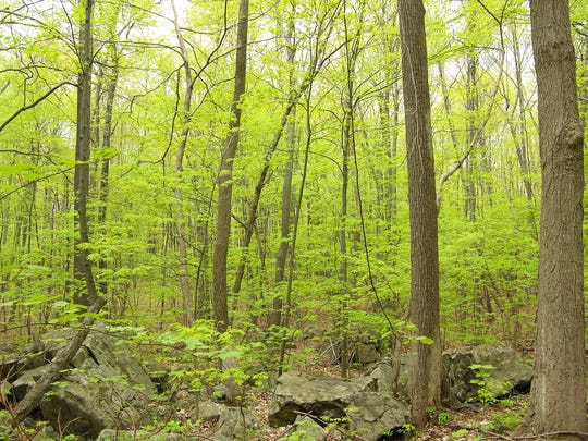 Striped maple trees in a northern New Jersey forest.