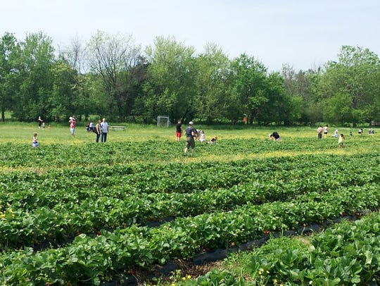 Delvin Farms is one of the pick  your own strawberry farms in Middle Tennessee.