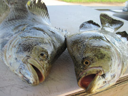 The tripletail bite is improving as more fish are migrating