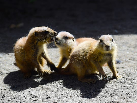 Prairie dogs, rodents which are native to the western