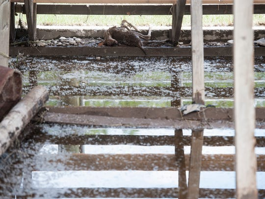 A young fawn that fell victim to high flood waters lies under the grandstand at the Augusta Rodeo Grounds.