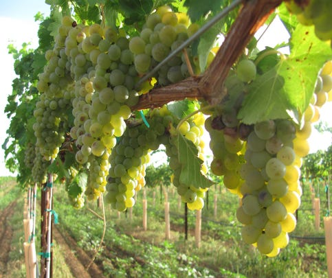 Green grapes at Lawrence Dunham Vineyards in Pearce, AZ.