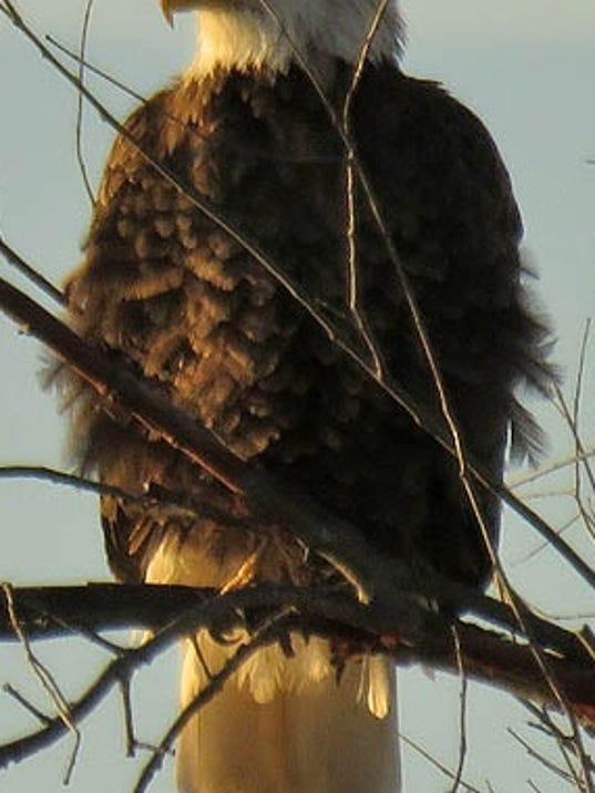 636374465341433187-Bald-Eagle-1-19-16-GLCC-PigeonCove1-1-.jpg
