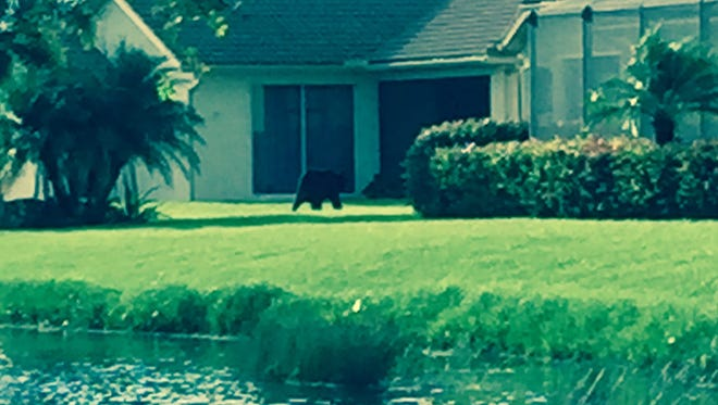 A black bear was spotted running through backyards in the Belle Terra community in Estero Wednesday