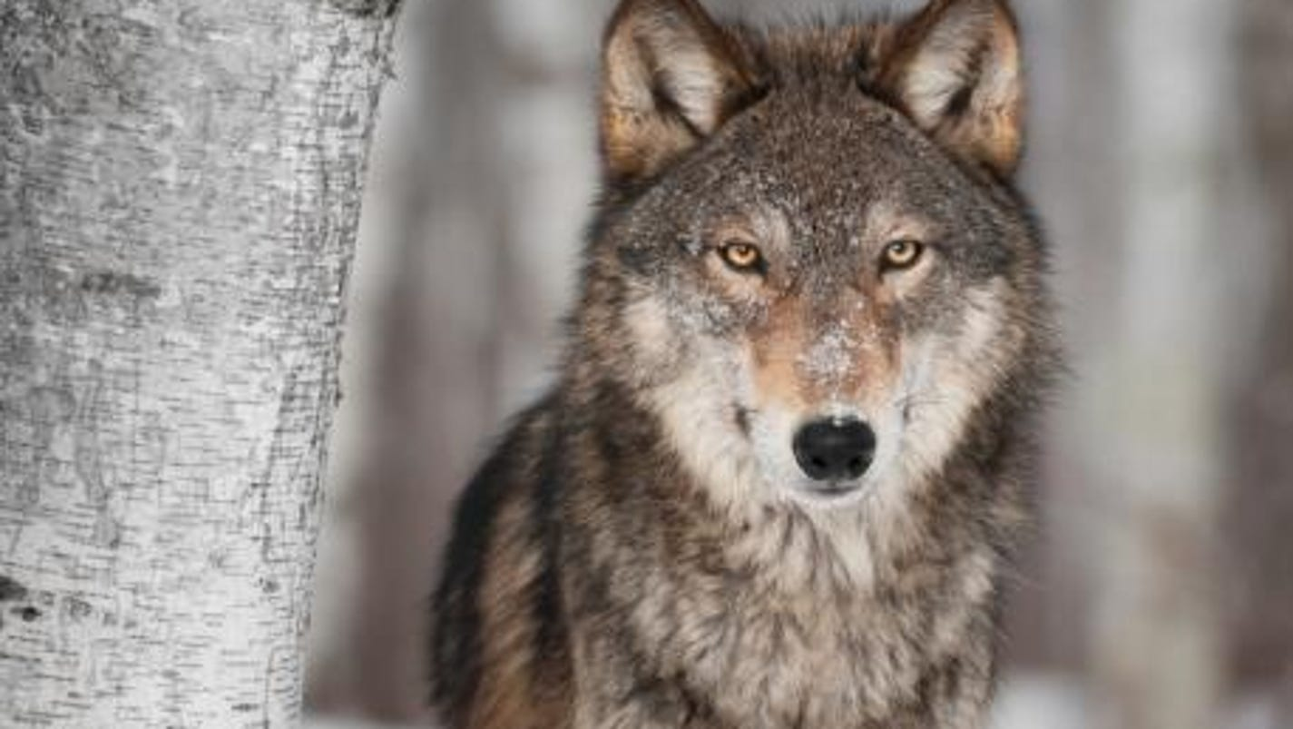 wolf management in wisconsin essay A collection of 26 campuses and statewide extension, the university of wisconsin system is one of the largest systems of public higher education in the country.