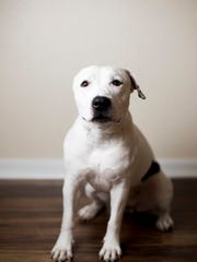 Pit bull rescue Abigail, 1, lost her right ear in what
