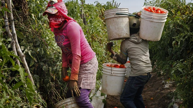 Teenage migrant farm workers pick ripe Roma tomatoes in Cristo Rey, Sinaloa, Mexico.