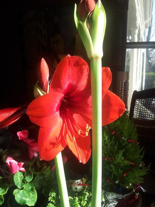 635881159218622854-Amaryllis-Blooms-and-Buds.jpg
