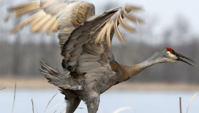 A sandhill crane prepares to take flight.