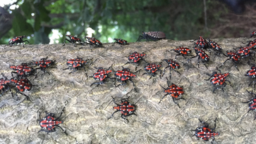 New Jersey prepares for possible invasion of tree-destroying bug, the spotted lanternfly