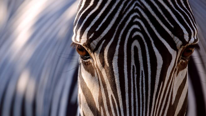 Zebras stripes help repel blood-sucking  tsetse and horseflies by disrupting their vision as they try to land, California researcher reported April 1, 2014.