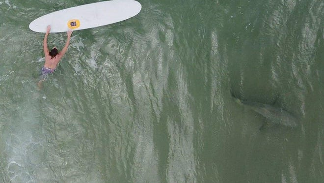 """Giuseppe """"Joey"""" Liuzzo said he captured this image of a shark near a surfer off New Smyrna Beach, Fla., this summer. Liuzzo uses drones to record sharks in the water where he surfs."""