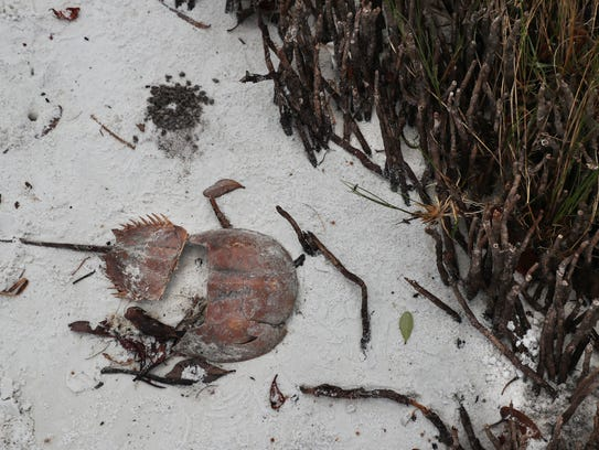 A horseshoe crab carcass washed up on the shore of