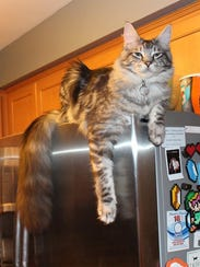 Cygnus Regulus, a silver Maine Coon cat, holds the
