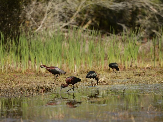 A group of glossy ibis feed in a shallow pool of water