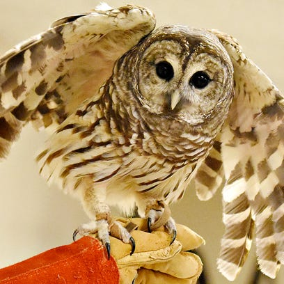A barred owl is shown during a presentation about Birds