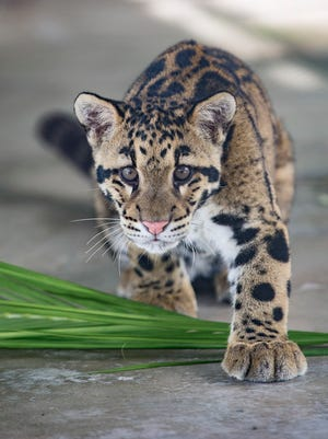A rare clouded leopard now at the Naples Zoo.
