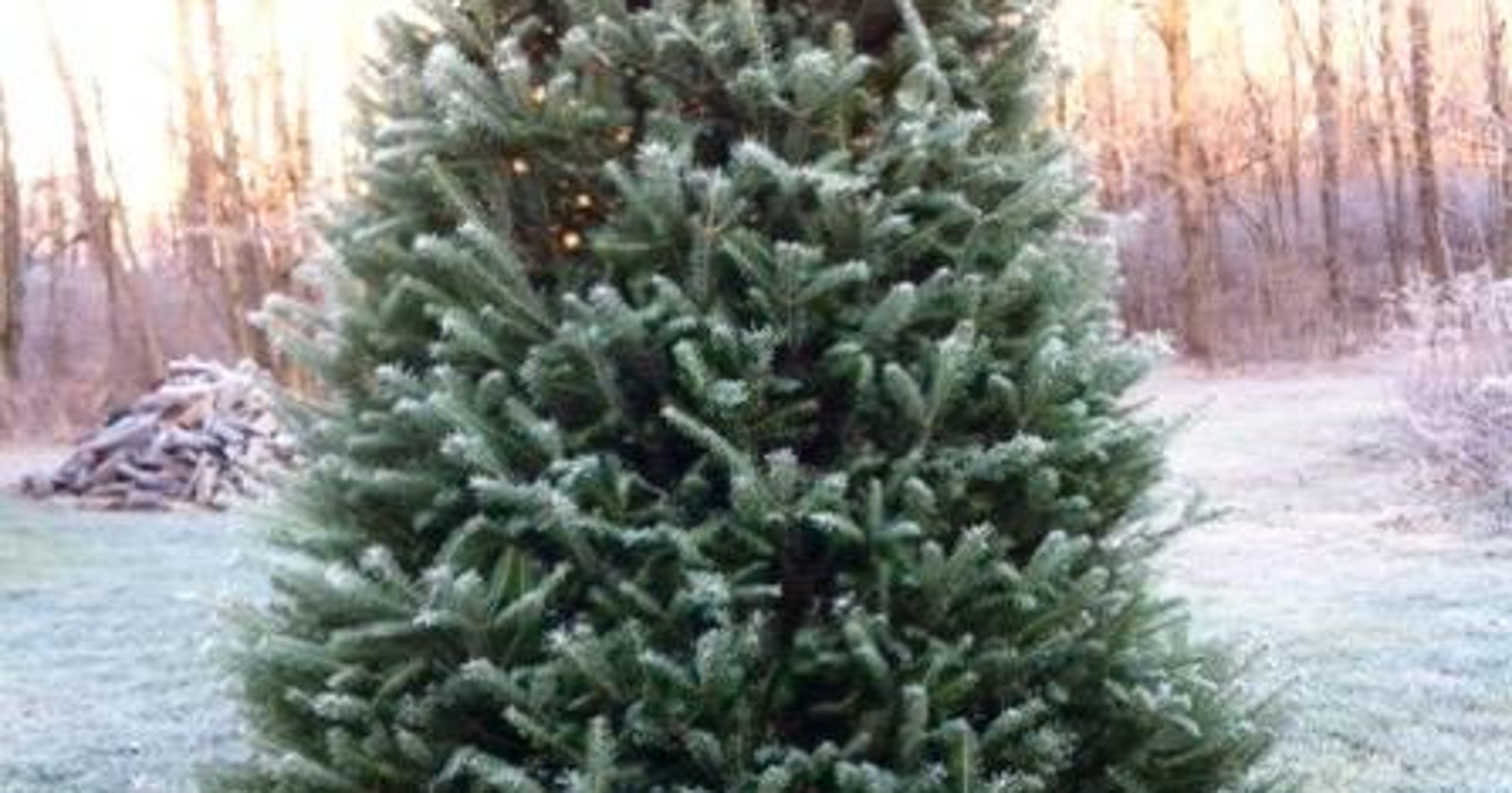 Christmas Trees That Are Popular In New Jersey At Local