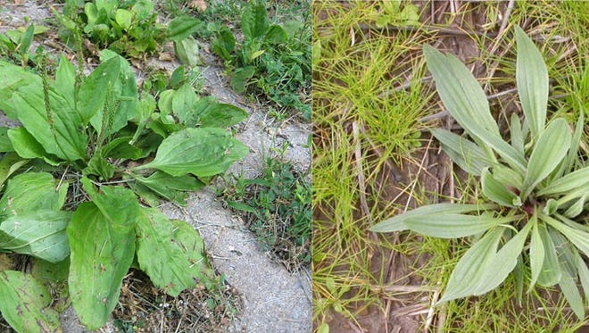 Broadleaf plantain (plantago major) and buckhorn plantain (plantago lanceolate) are two of the most common and over looked weeds.