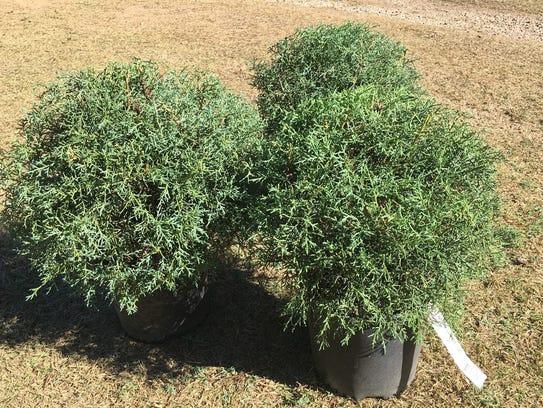 This trio of rounded 'Carolina Sapphire' Arizona cypress,