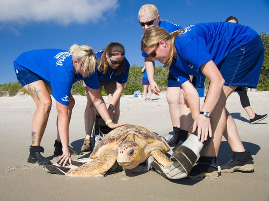 SeaWorld Orlando's Rescue Team and the Florida Fish & Wildlife Conservation Commission teamed up to return 2 rescued loggerhead sea turtles. They were released back into the wild at Pineda Beach Park in Satellite Beach on July 5, 2017,