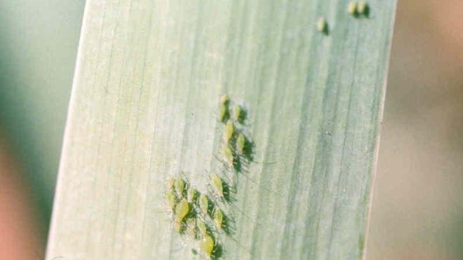 Due to our mild winter and drought, conditions are perfect for pests. Many northern Nevada gardeners are struggling with one pest in particular right now — aphids.