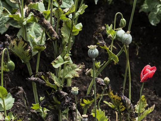 Poppies in a Guatemalan field in June 2018. Locals say narco gangs sometimes take advantage of impoverished farmers, encouraging them to grow poppies to seed the heroin trade.