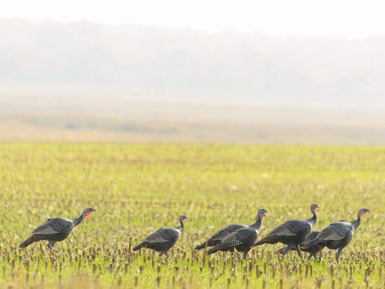 Wild turkeys forage in the fields at Delaware Wild Lands' Taylors Bridge Roberts Farm.