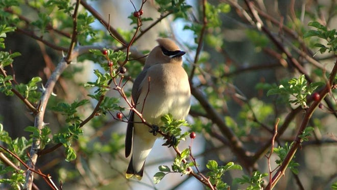 Cedar waxwings eat so much fruit, they can occasionally become intoxicated from overripe berries that may have started to ferment.
