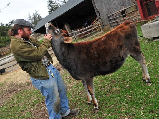 Dan Rosenberg scratches a playful calf named Cali. Rosenberg is Fosterfields' new farm foreman as of February 2015.