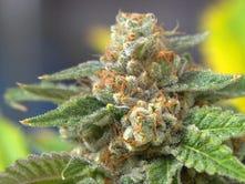Marijuana flower