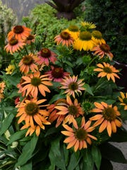 Echinacea Cheyenne Spirit offers a varied range of unique flower colors.