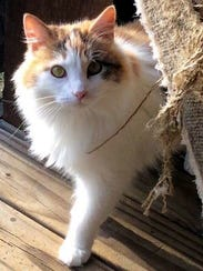 Muffy is a beautiful, 3½-year-old, spayed, female calico/domestic
