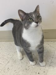 Mira is a 6-year-old gray-and-white girl who is laid back and sweet as the day is long. She has gorgeous green eyes, and loves to rub against legs, hands and elbows. The person who gets Mira will be really lucky.