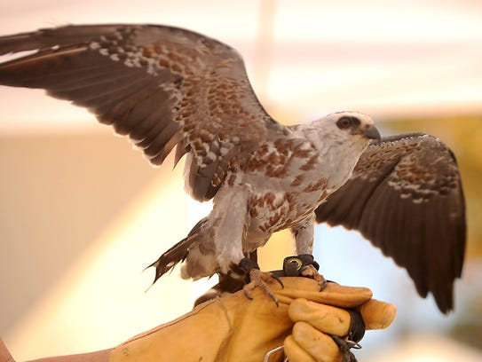 Miki, a Mississippi kite, is among the birds that have lived at the Ojai Raptor Center. An open house is being held on Sunday.