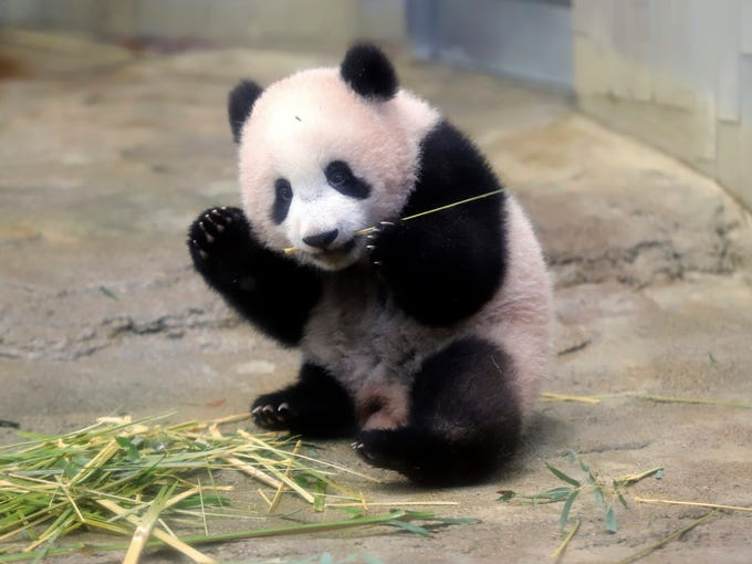 adorable baby panda makes debut at tokyo zoo