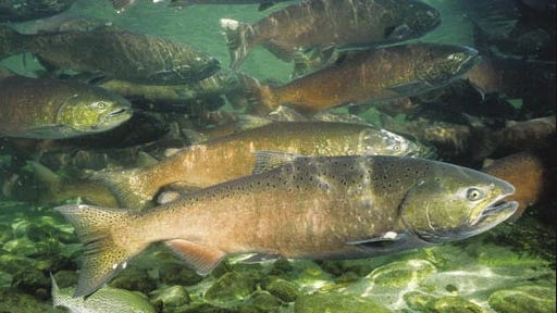 Amass die-off of salmonis expected because of the California drought.