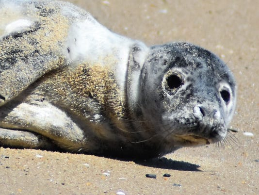 sby-gray-seal.JPG