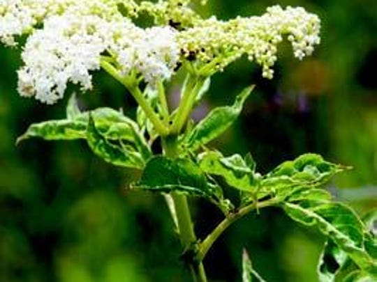 Almost all parts of the elderberry are used in a variety of remedies. The flowers are used for measles, the buds for fever, chills or headache and the stem pith to cleanse eye infections.