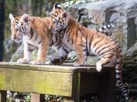 Bengal tigers Mahesha & Rishi take a short break during