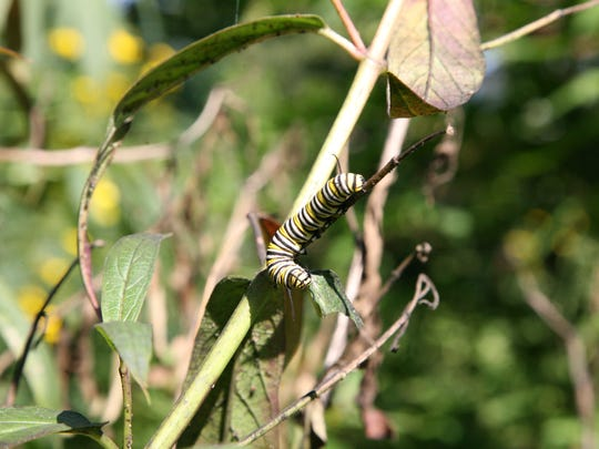 Monarch butterflies lay eggs only on the milkweed plant.