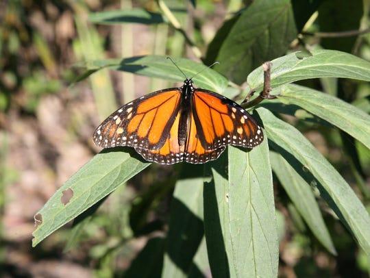 Monarch butterflies have seen a 90 percent decline
