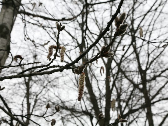 Some tree species have showy flowers to attract insects, others have subtle flowers, and still others produce long, dangling flowers called catkins, such as these hanging from an aspen tree in North Jersey.