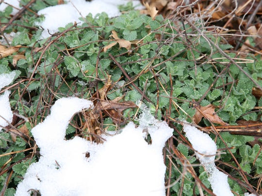 Catmint, a perennial, pushes up through the snow in early April in North Jersey.